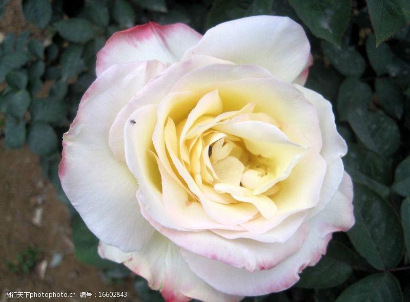 白色花儿白色月季植物图片植物摄影图片植物照片