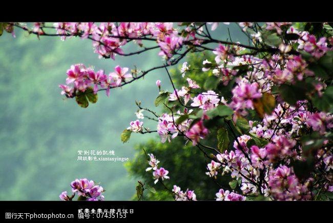 风景生活旅游餐饮原创紫荆花摄影图下载